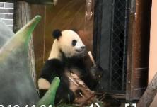 红视频丨凤凰中华大熊猫苑开园 熊猫百态引游客驻足