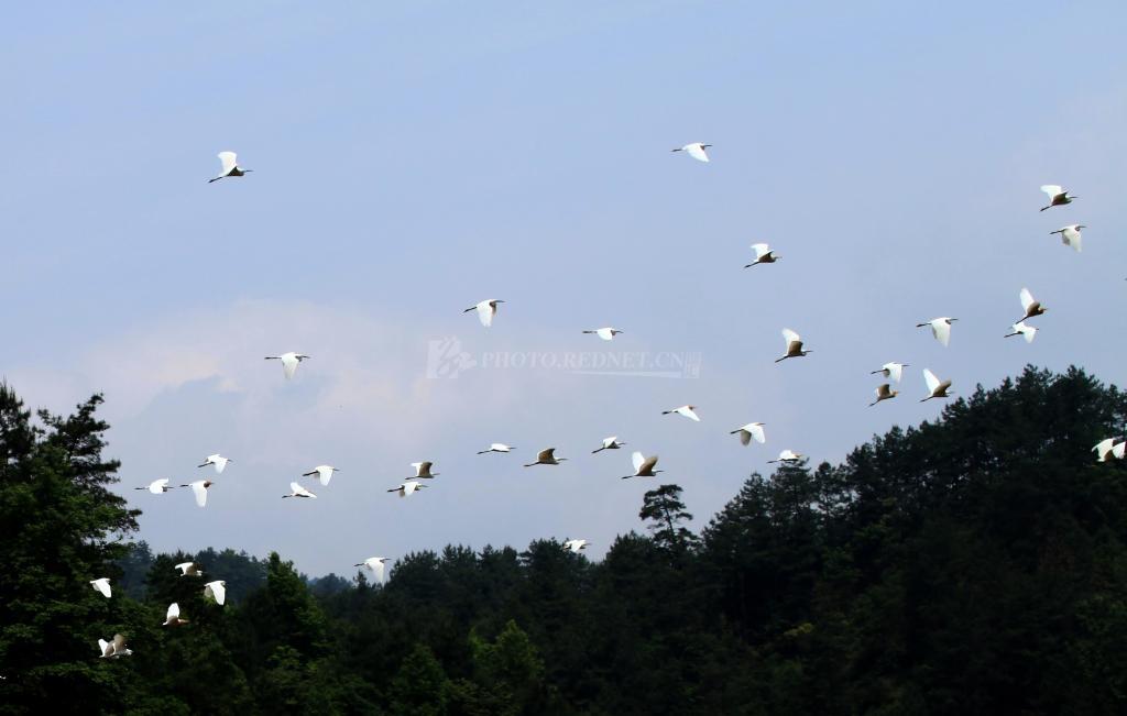 dingyong369的图片库 -       湖南通道加强生态环境保护为鸟筑巢.jpg