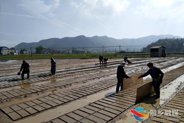"""优质稻""""订单""""生产 助力农民增产增收"""