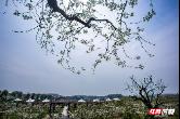 衡阳市珠晖区:千亩梨乡香雪海 三月花开等你来