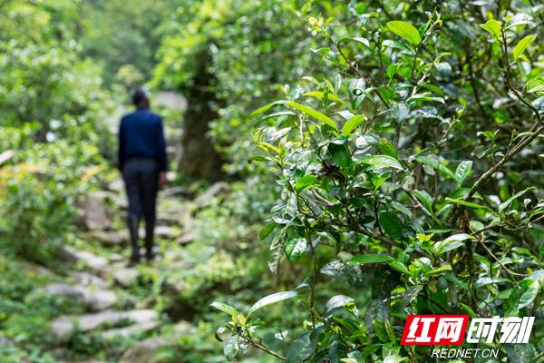舜皇山野生茶于山谷间、溪水旁、古道边、乱石中、岩隙里、森林中恣意生长,叶片多呈紫色,年代之古老、品质之优良、数量之巨大,堪称自然界之奇迹,其中极具开发价值的野生茶有2万亩。.jpg