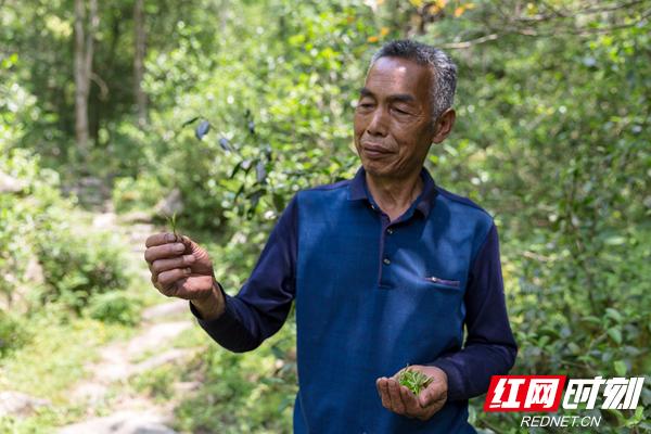 茶农展示采摘的野生芽茶.jpg
