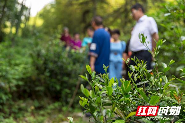8、只见竹林下、涧溪间、乱石中、古道旁随处可见茶树嫩绿勃发,茶芽肥硕,满目翠绿.jpg