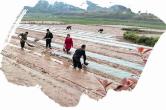 """党员充当""""领头雁"""":横市镇落实早稻种植面积9000余亩"""