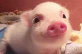 猪群中发现G4型病毒 论文作者:老病毒,不必恐慌