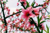 三月黃草競紛芳 人面桃花相映紅