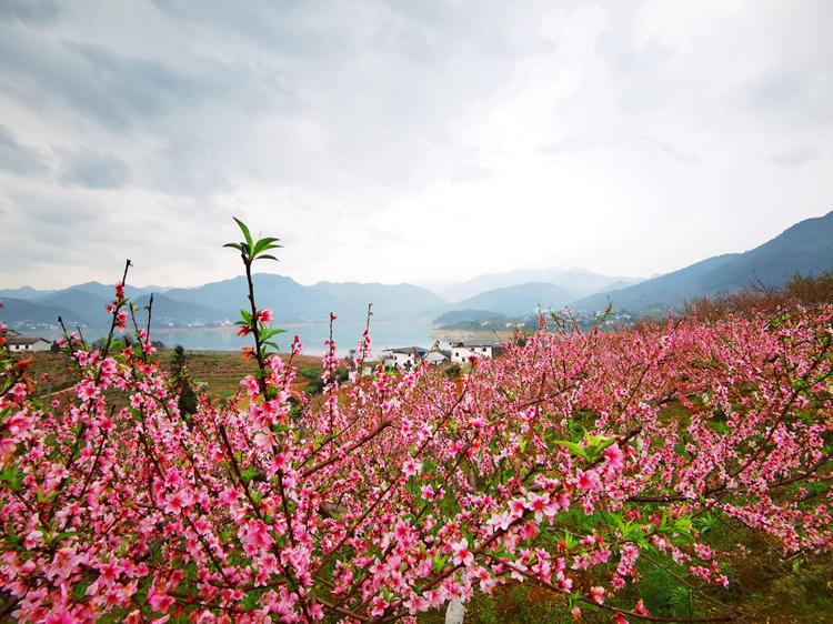 一湖瑟瑟疊翠峰,百木爭春映水紅。 依山傍水的紅桃園,地理氣候條件俱佳。