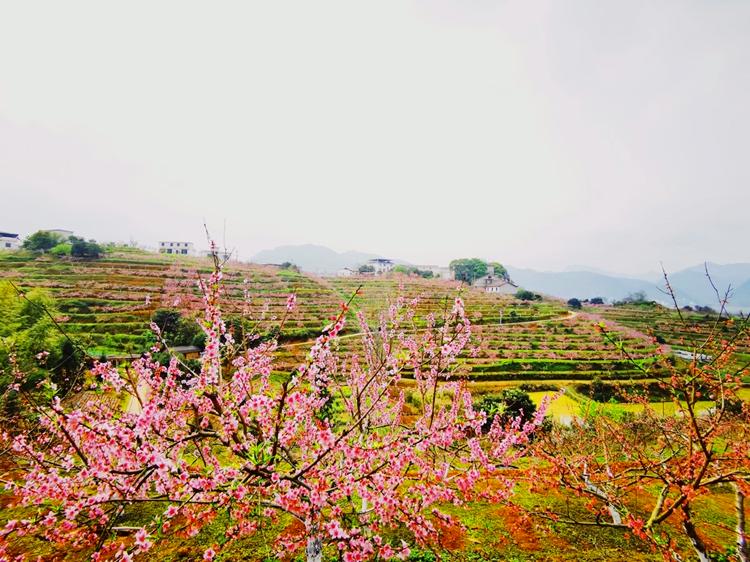甜于糖蜜軟于酥,金水山頭擁萬株。 五月的紅桃成熟季,黃草鎮簞食壺漿,廣迎八方。