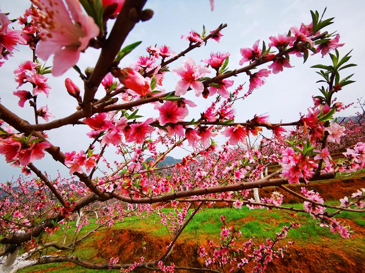支部農場春意鬧,人面桃花相映紅。 連片的上千畝桃、李、梨樹不期綻放,二十四番花信風,庫區春暖。
