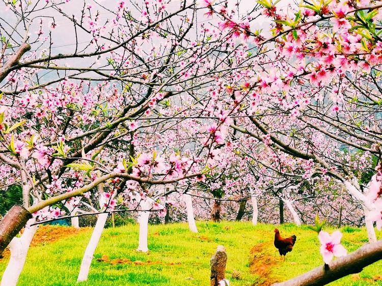 問宿桃樹下,夢醒雞鳴時。 桃園中豢養雞禽是庫區群眾精耕細作的勞動智慧。