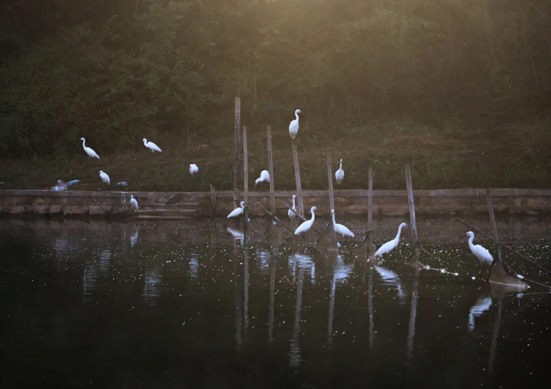 """韶山:生态保护成效显著 白鹭成群为绿水青山""""点赞"""""""