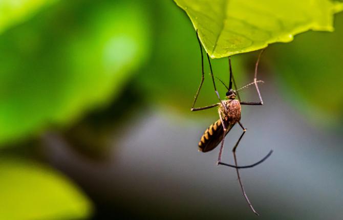 双语 | 蚊子会传播新冠病毒吗?专家是这么说的……