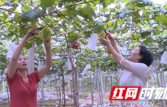 【庆丰收 迎小康】张家界市溪口镇樟树村:葡萄架下小康生活滋味甜