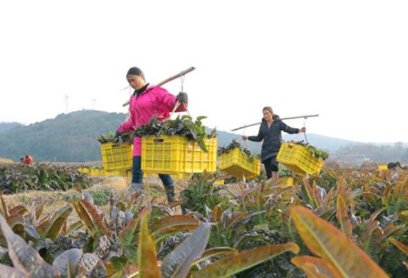 江永县四万亩生态蔬菜远销粤港澳