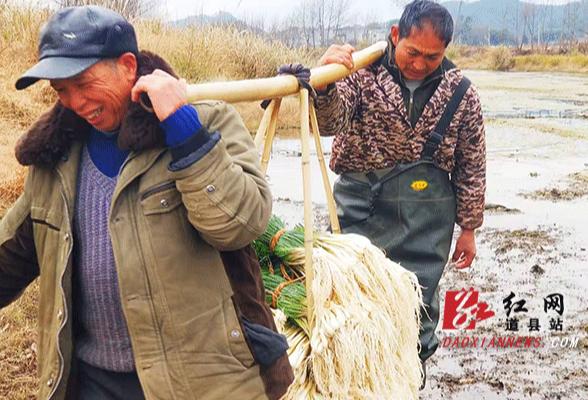 道县车边村:小蕌头成村里增产增收精品产业