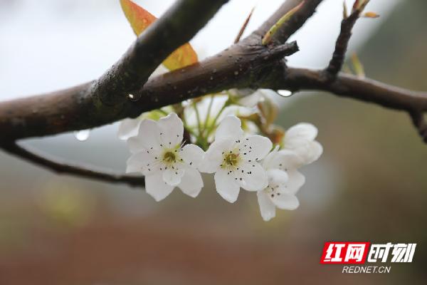 新田县枧头镇马场岭村盛开的梨花。