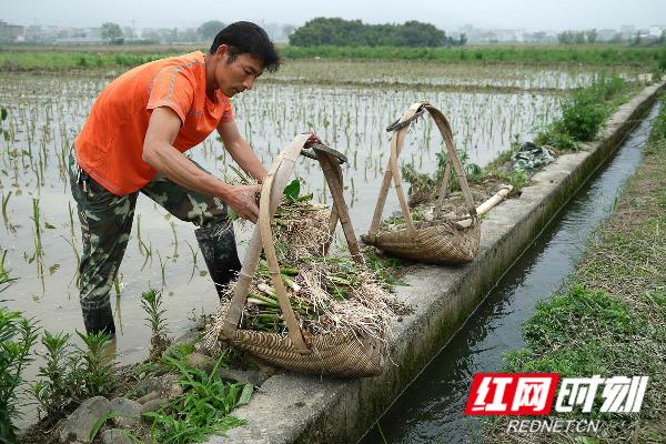 蓝山县塔峰镇赤蓝桥村,农民在选香芋种苗。