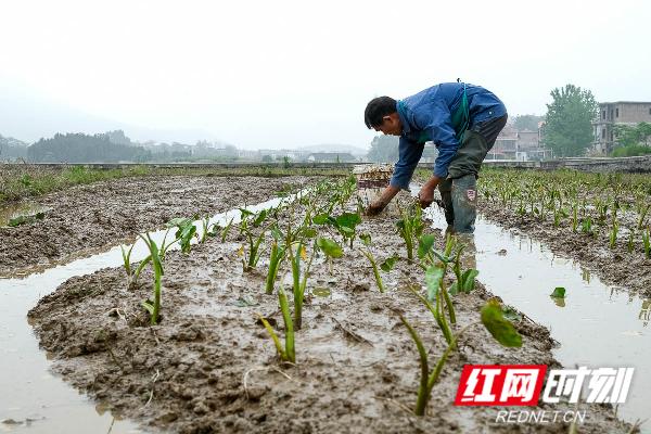 蓝山县塔峰镇八甲村,农民在种香芋。