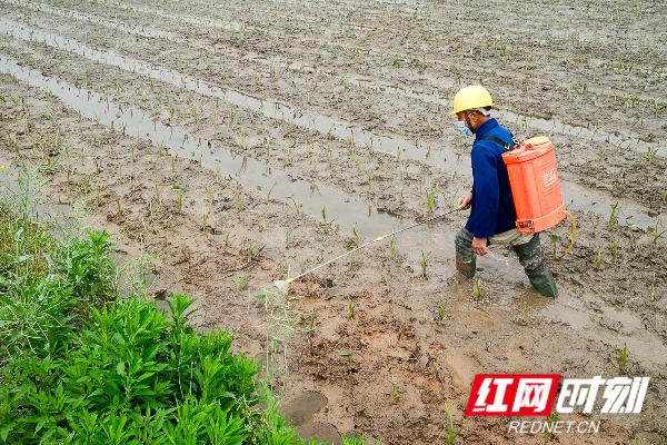 蓝山县塔峰镇雷家岭村,农民在杀虫。