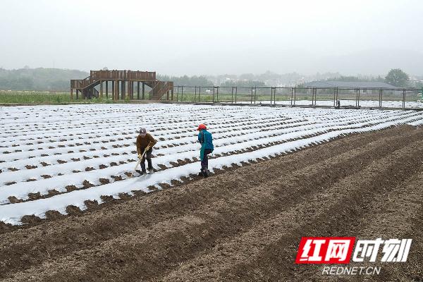 蓝山县塔峰镇雷家岭村,农民在盖地膜。