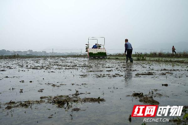 蓝山县塔峰镇赤蓝桥恒华米业基地,农民在机械插秧。