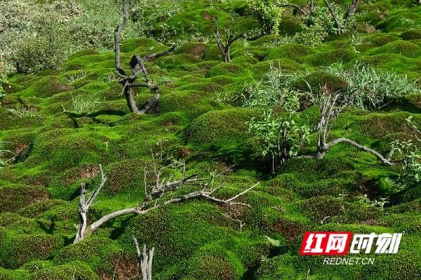 云冰山景区共有两处面积共约400亩的连片高山青苔群落。苔藓厚度普遍在3至4厘米,最厚的达6厘米,绿茵茵的。