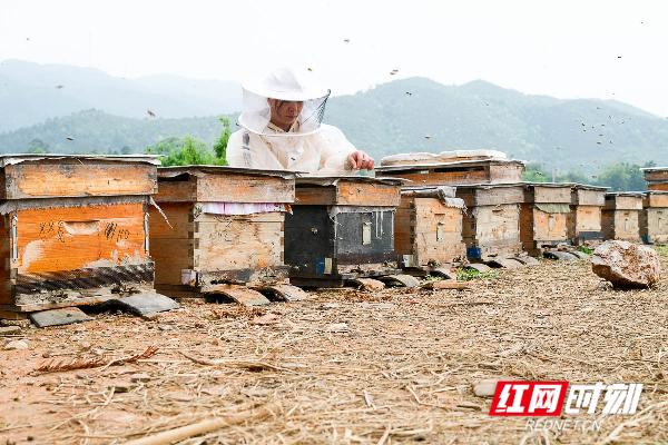 谢任梅养蜂十余年,与大多数养蜂人一样,她秉承勤劳的蜜蜂精神,力求将养蜂这一甜蜜的事业经营得更甜蜜。