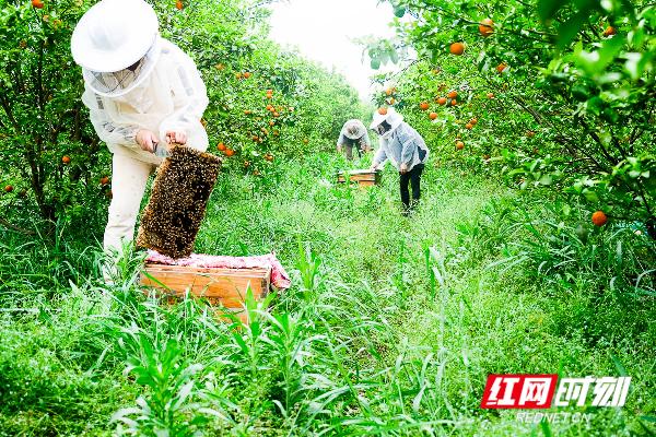 当下正是百花齐放的春季,勤劳的蜜蜂采完了附近的油菜花、橘子花,再过一段时间,谢任梅又将带着她的蜜蜂转移战场采集其它的花蜜。