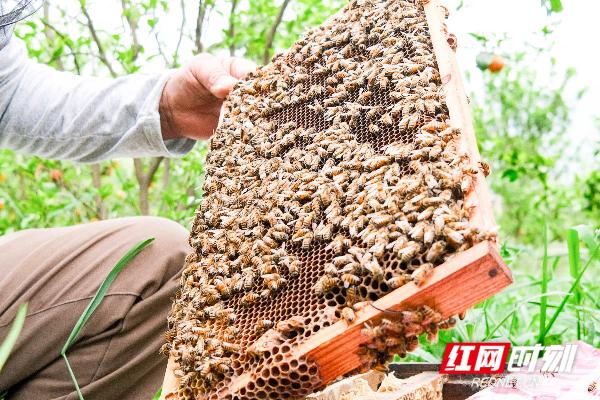 谢任梅观察蜂巢。