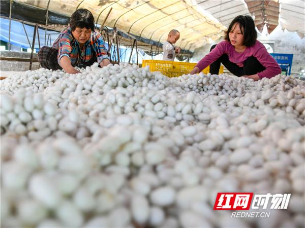 农户在营山养蚕合作社里采收蚕茧。