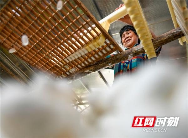 近年来,湖南省永州市道县仙子脚镇蒋家岭村大力发展蚕桑等特色种养殖和加工产业,种植桑树70亩,建有集中大蚕房6个共1200平方米,带动当地农户就地就业、增收致富。