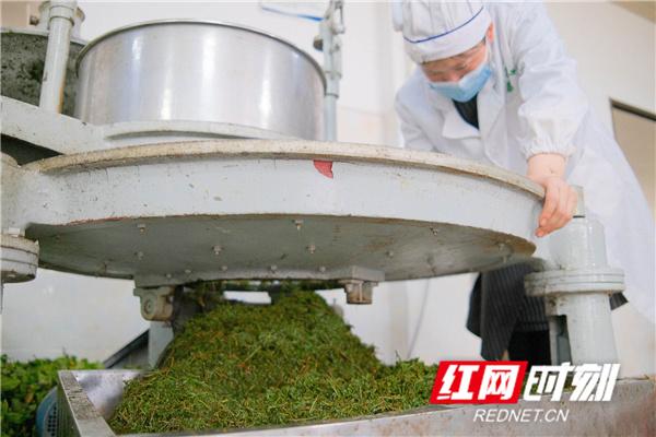 该茶园茶叶种植面积1.5万余亩,年产有机茶600多吨,销往粤港澳大湾区并出口东盟国家,并通过走茶旅一体化道路带动茶园周边群众共同致富。