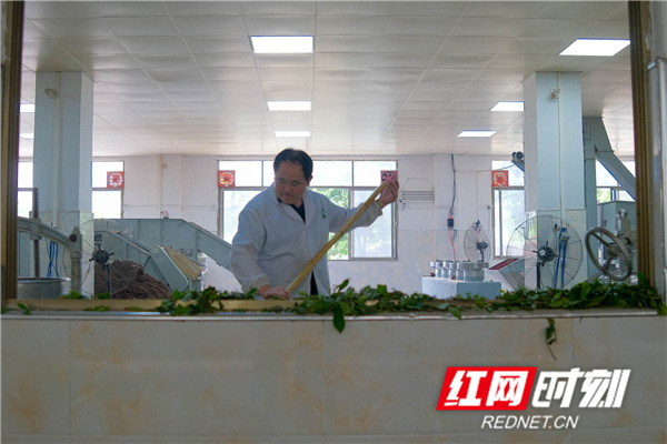 红网时刻永州5月7日讯(通讯员 梁利)5月7日,湖南省永州市蓝山县塔峰镇百叠岭有机茶园制茶车间,工人们正将采摘回来的有机茶进行制作。经过杀青、萎凋、揉捻、发酵、烘干、分装等步骤后,一片片绿叶魔术般地变成了红茶,透着高山有机茶的诱人芳香。