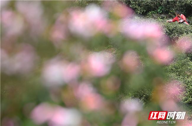"""2021年3月26日,茶农在湖南省衡阳市南岳区寿岳乡""""十里茶乡""""采明前茶。 (1).jpg"""