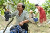雙峰︰村干部賣力吆(yao)喝 助果農銷售葡萄4萬多斤