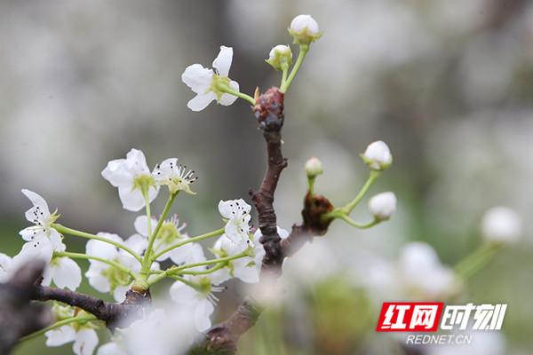 微风吹来,绿茸茸的花萼托着银星点点的花蕾,似少女般含羞答答。