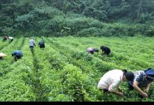 湘西州委统战部、州工商联、州侨联积极 帮助扶贫联系村发展辣椒产业