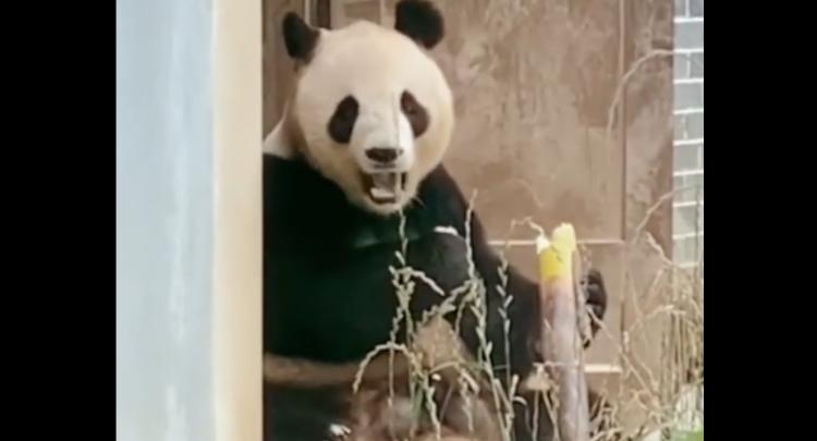 大熊猫吃竹子也不忘了看镜头,镜头感也太强了吧!