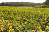 短视频 朵朵花儿向阳开,湘乡多了一处打卡地!