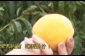 果大肉甜、味美多汁!翻江镇2200亩黄桃大丰收!