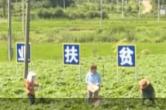 农民丰收 | 亚洲城娱乐手机登录入口白田镇:薯芽喜获丰收 村民脱贫有路
