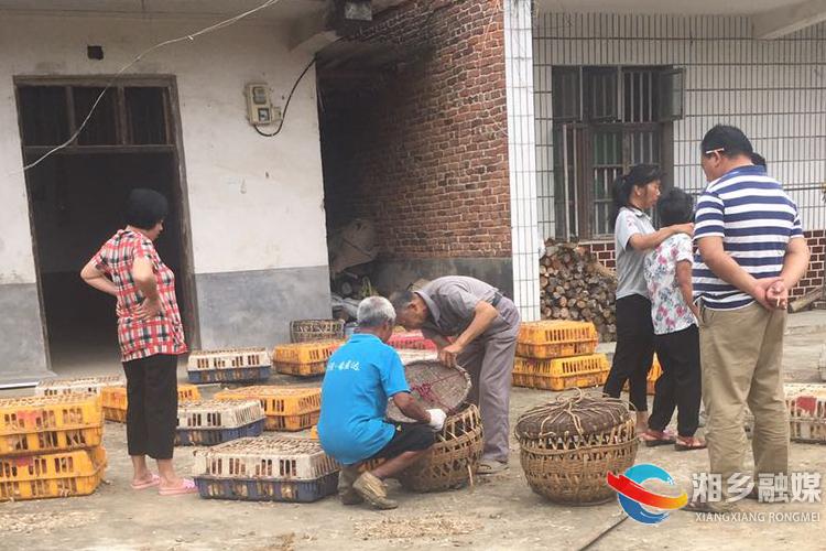 翻江镇:产业扶贫送鸡苗 助农致富出实招