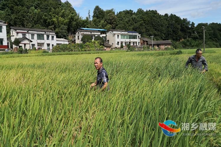 栗山镇:做细做实病虫害防治工作 力促水稻增产