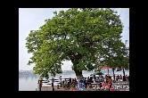 湘江边的老槐树
