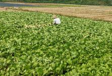"""""""益农通道""""助力农民轻松卖菜 菜农人均增收700元/月"""