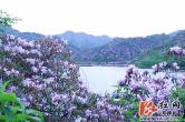 万和湖紫色杜鹃花海如梦似幻