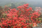 双牌:中国最大野生杜鹃花基地杜鹃花开红艳艳