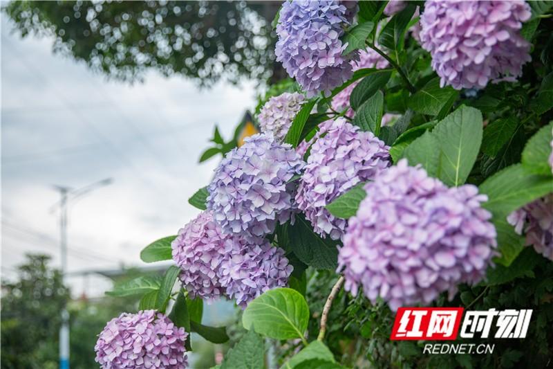 繡花球又名八仙花、紫陽花、粉團花等。