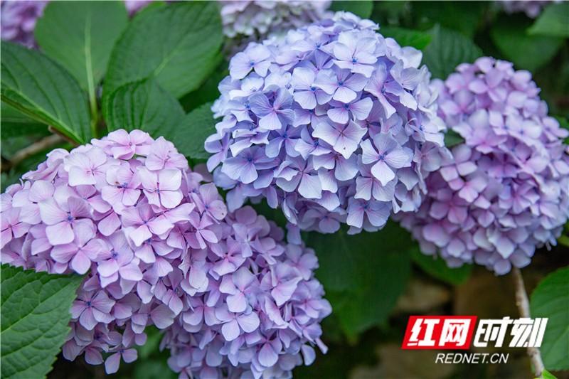 顏色各異,有弱粉色、淡紫色。
