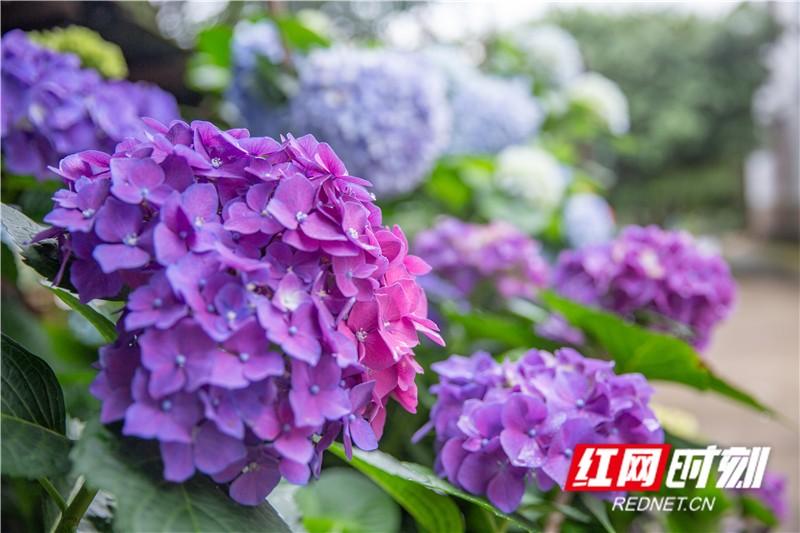 繡球花象征希望、忠貞、永恒、美滿。